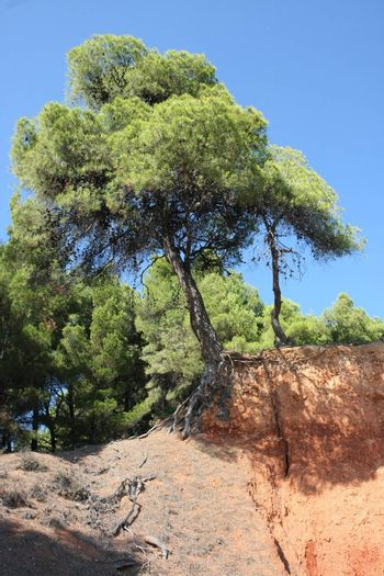 Tree with roots on the rock at the coast of Aegean Sea close to Nikiti,Greece