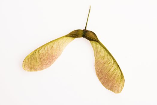 Two winged maple seeds attached to the stem
