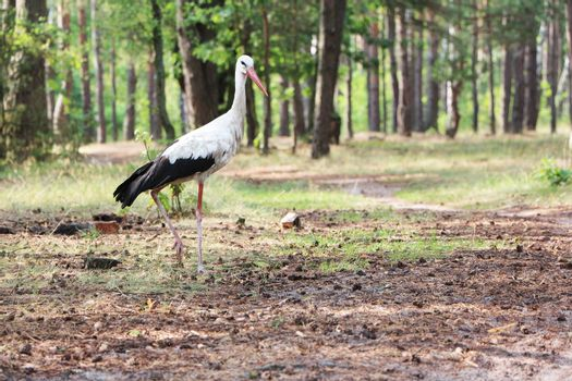 The white stork in the pine forest