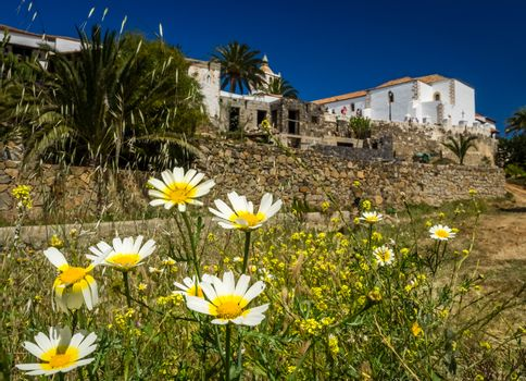 White asteraceae flowers in Betancuria, an old capital of Fuerteventura, Canary islands, Spain