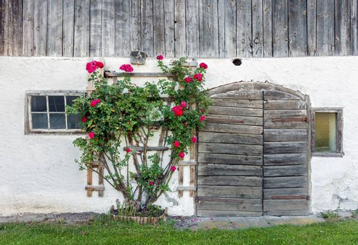 Old weathered wooden barn doors and red rose bush blooming at summer
