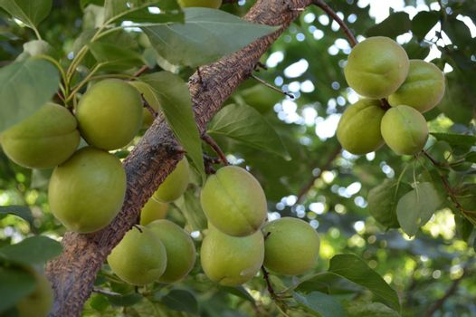 Apricot fruits ripening on a trees branch