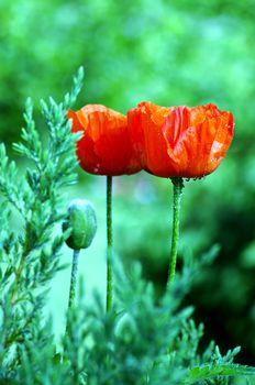 poppy heart macro. Shot red poppy close-up
