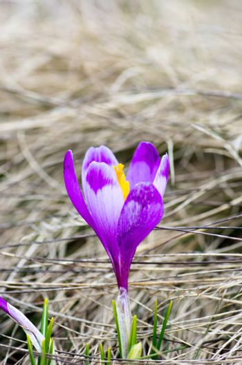 Spring crocus flowers on green natural background. Selective foc