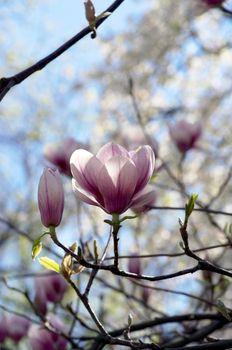 Beautiful Flowers of a Magnolia Tree
