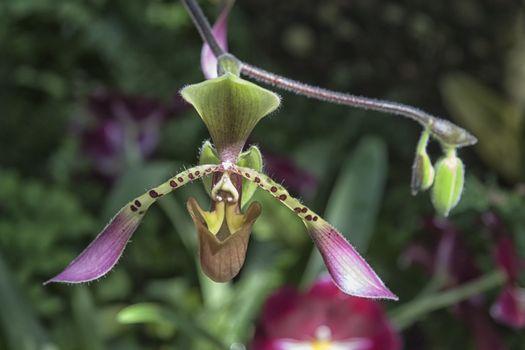Slipper Orchid Flower