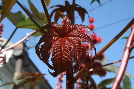Close up of castor-oil-plant  leaves
