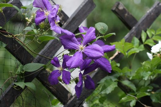 Close up of purple clematis flowers