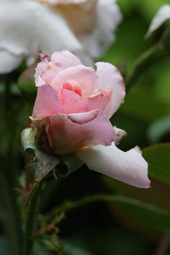 Close up of pink rose with rain drops