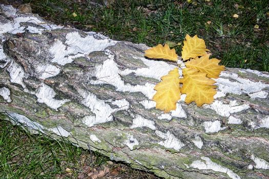 Fallen leaves on the sawn trunk of a birch.