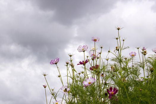 cosmos flowers in the sky with clouds