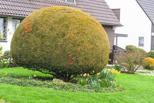 Thuja in a front garden