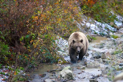 Big brown bear (Ursus arctos) in the forest