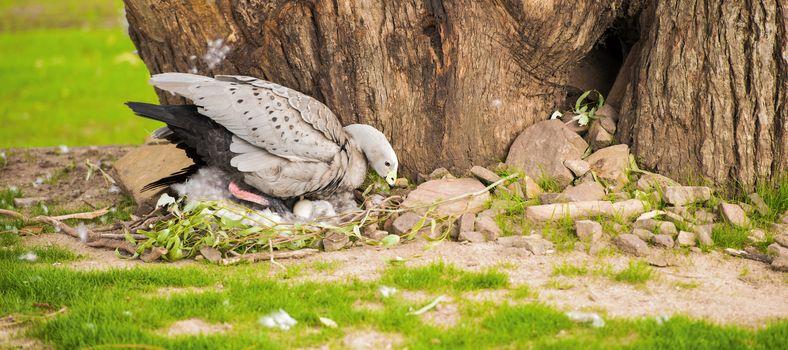 Cape Barren Goose with her nest