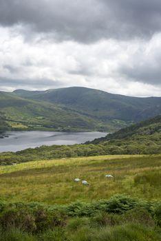sheep on the kerry way in irelands wild atlantic way
