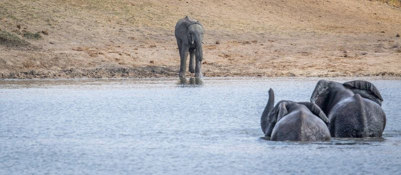 Three Elephants at a dam in the Kruger National Park, South Africa.