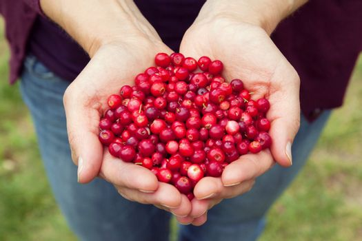 Woman hands holding fresh red lingonberries