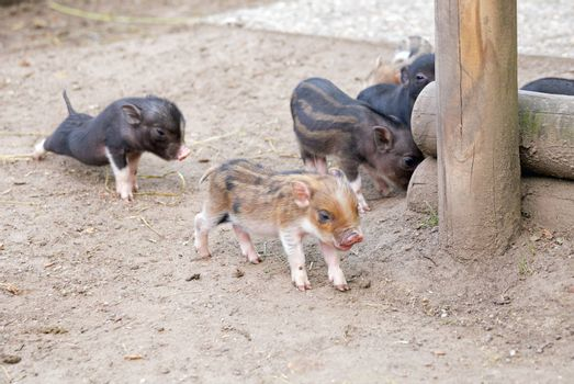 Several pot bellied pig (piglet)