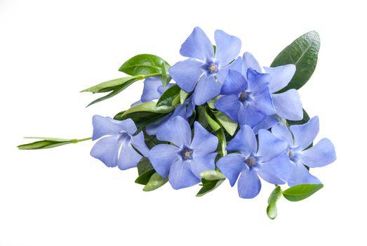 Beautiful periwinkle blue flower isolated on white background