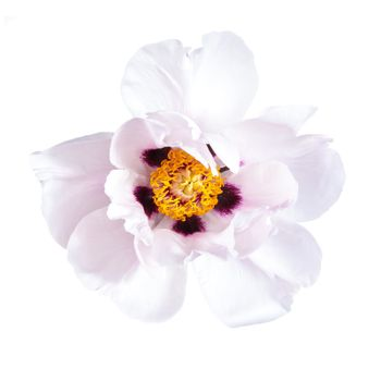 Pink peony flower isolated on white background, spa aroma