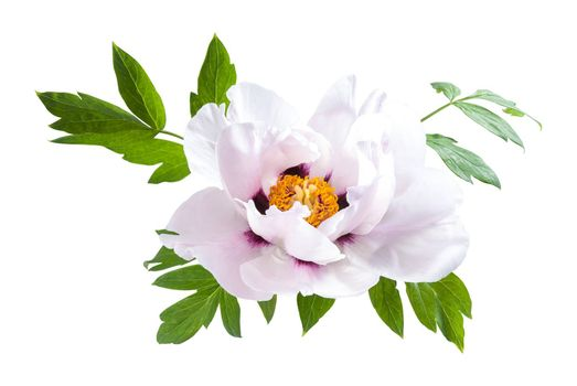 Pink peony flower with green leaves isolated on white background, for card design