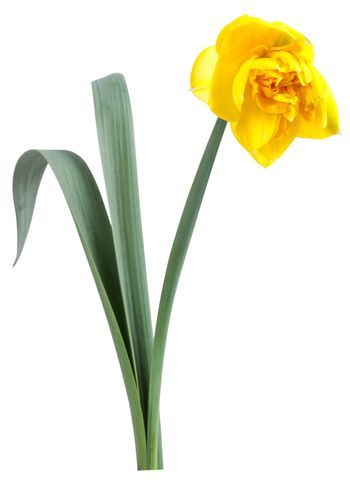 Beautiful narcissus flower with green leaves isolated on white background, for your design