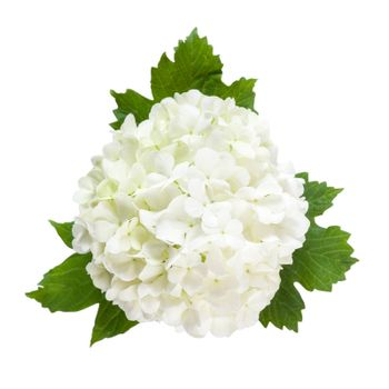 White flowers on green leaves isolated on a white bakcground, for design
