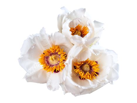 Three white peonies flower isolated on white background, spa aroma