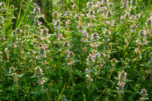 Thyme flowers on meadow in spring sunny day, outdoors