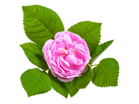 Tea rose pink flowers with leaves, isolated on white backround