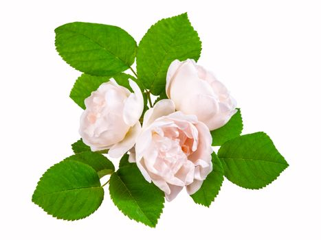 Tea rose cream flowers with leaves, isolated on white backround