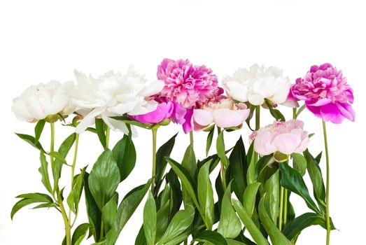 Bouquet of peonies flower isolated on white background