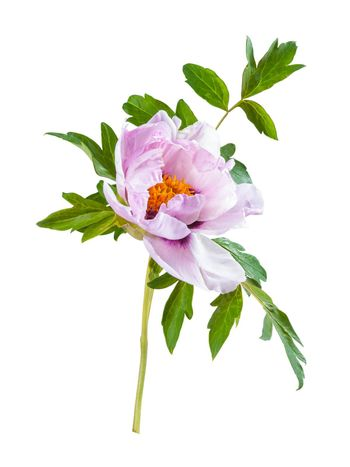 Peony flower isolated on a white backgriund