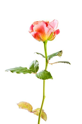 Beautiful pink rose flowers isolated on white background