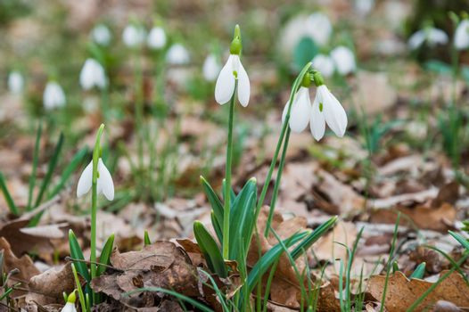 First spring flowers snowdrops