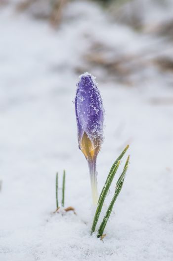 The first spring crocus flowers in the frost