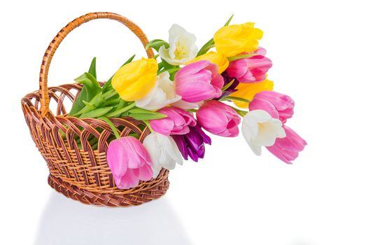 Beautiful tulip flowers in a basket for gift isolated on white background