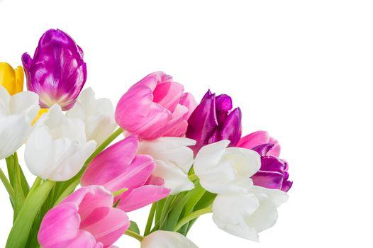 Close up tulip flowers isolated on white background