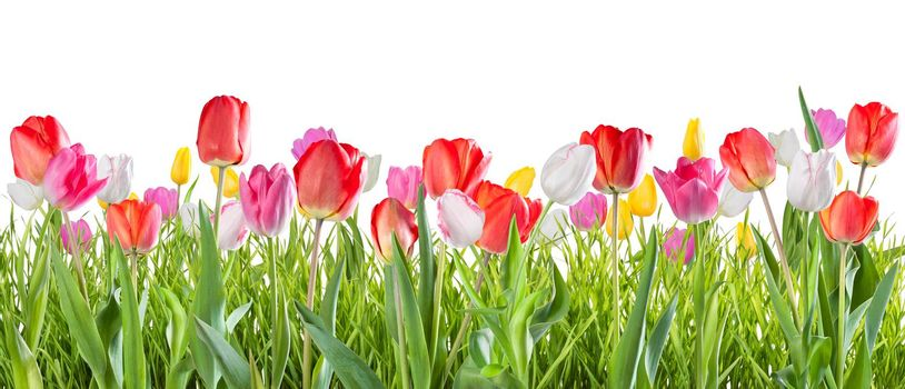 Yellow, red, white and pink tulip flowers isolated