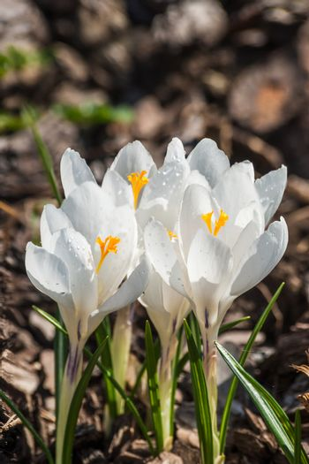 Beautiful white crocus flowers on the glade