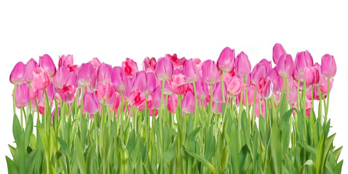 Beautiful pink tulip flowers isolated on white background