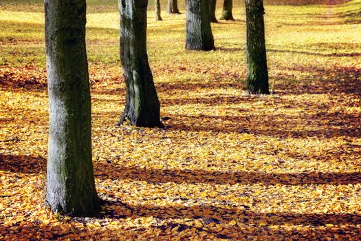 Tree trunks and ground covered with yellow leaves in the park at autumn