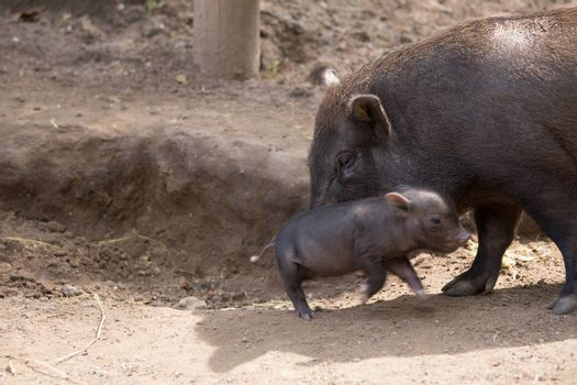 Pot bellied pig and piglet