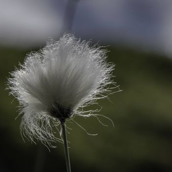 Cotton grass in the wind.