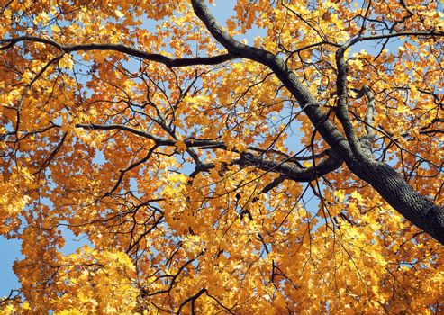 Low angle shot of yellow maple tree in autumn