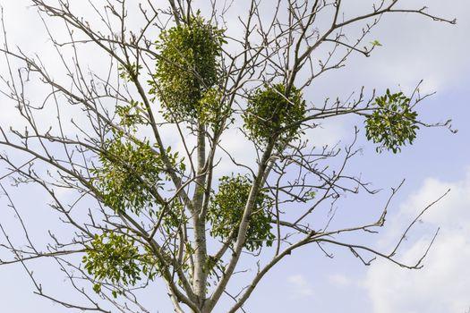 tree with mistletoe