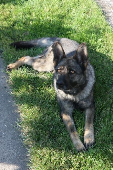 Beautiful German Shepherd resting and guarding the yard