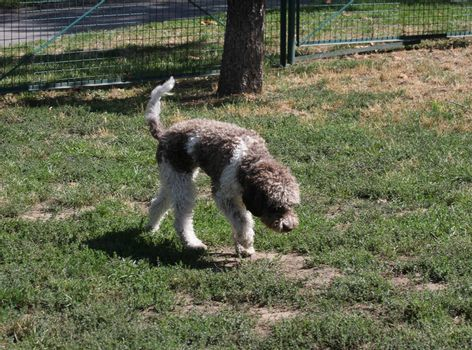 Beautiful Lagotto Romagnolo sniffs in dog park