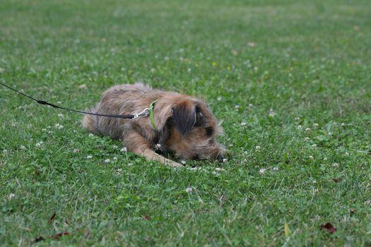 Beautiful dog lying down and enjoying in the grass