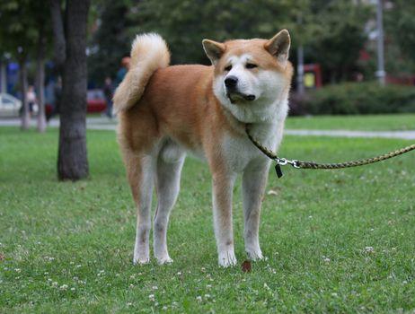 Beautiful dog proudly  posing in public park